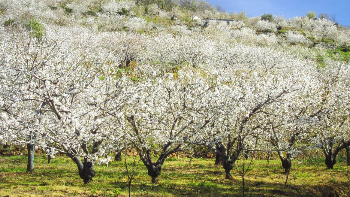 Spanien – Kirschblüte im Valle del Jerte